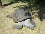 Giant tortoise in the hotel garden - a good 3 feet from stem to stern of his shel