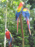 Scarlet macaws - endangered species